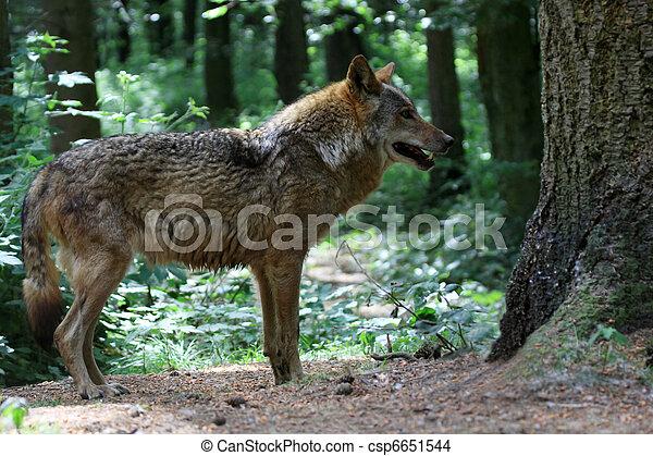 Wolf - csp6651544