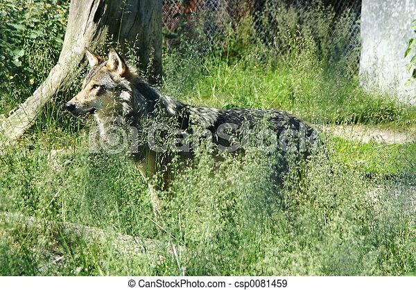 Wolf - csp0081459