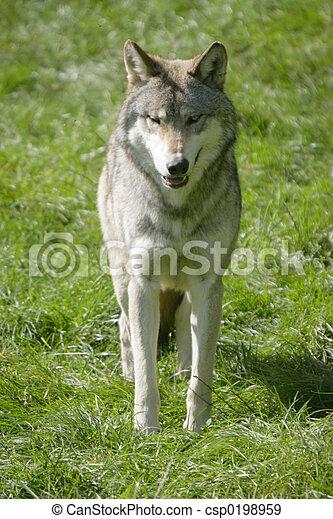 Wolf - csp0198959