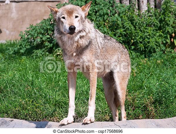 Wolf - csp17568696