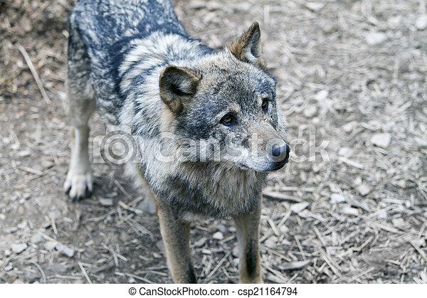 Wolf - csp21164794