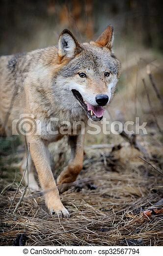 Wolf - csp32567794