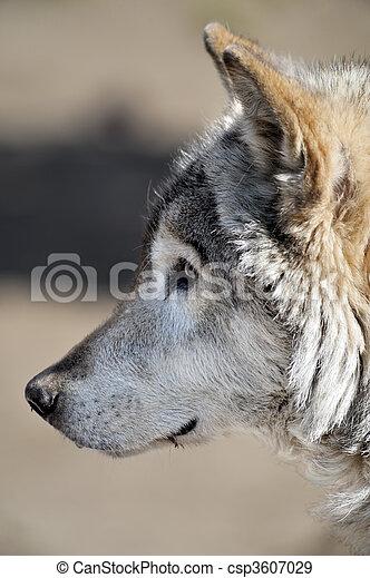 Wolf - csp3607029