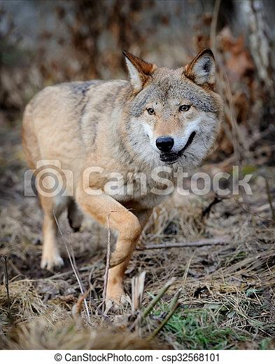 Wolf - csp32568101