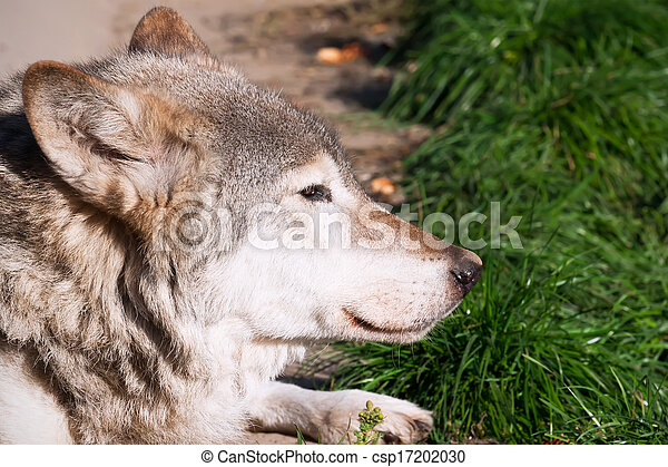 Wolf - csp17202030