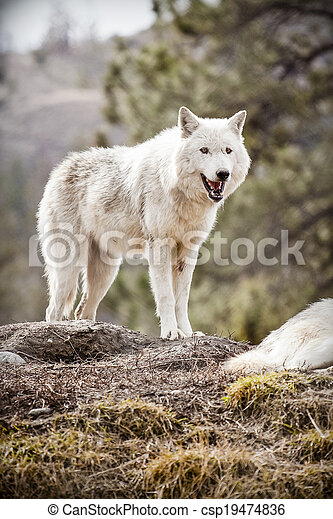 Wolf - csp19474836