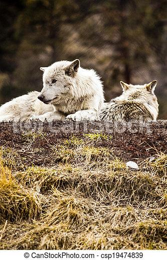 Wolf - csp19474839
