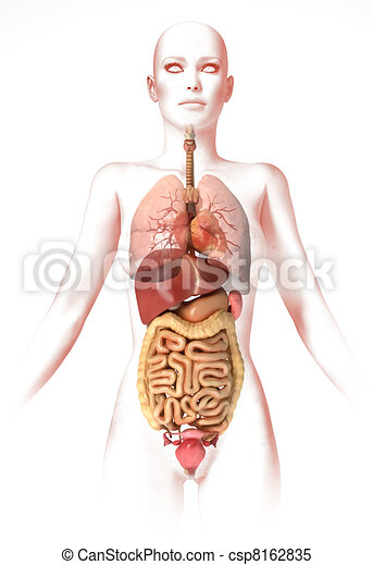 Woman body, with interior organs. Anatomy image, stylized look. - csp8162835