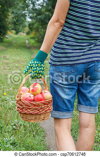 Woman is holding wicker basket with red apples in her hand. - csp70612748
