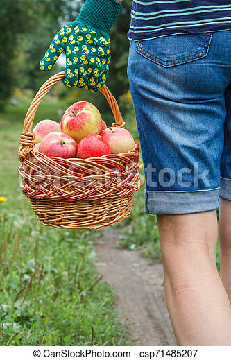 Woman is holding wicker basket with red apples in her hand. - csp71485207