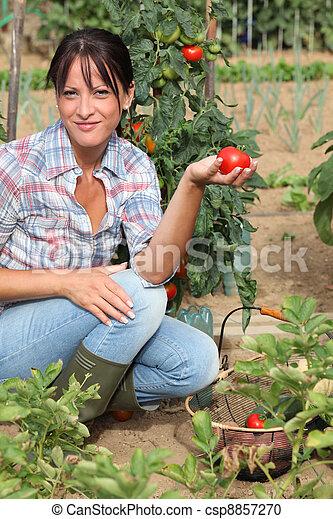 Woman picking tomatoes in her kitchen garden - csp8857270