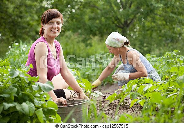 women working in  vegetable garden - csp12567515