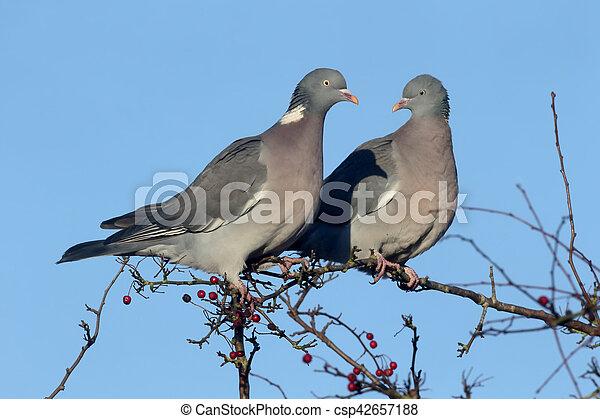 Wood pigeon, Columba palumbus - csp42657188