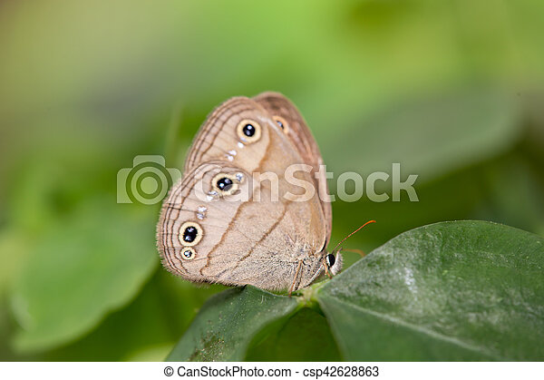 Wood Satyr on Leaf #1 - csp42628863