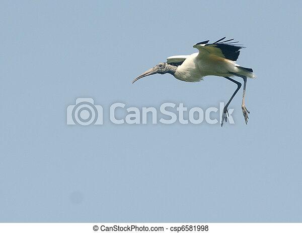 Wood stork in flight - csp6581998