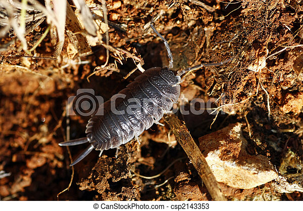 woodlice, földi, ászkarákokkal, oniscidea, földi izopódák, állatok, Isopoda, gördülő fa tetvek