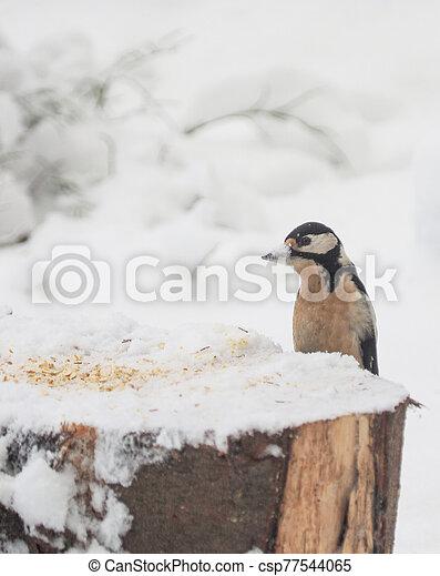 woodpecker on a feeding trough. winter - csp77544065