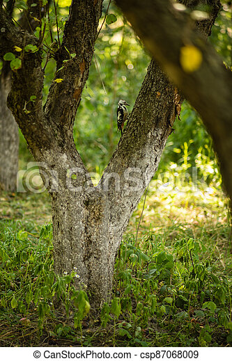 woodpecker on a tree in the spring forest - csp87068009