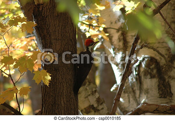 Woodpecker - csp0010185