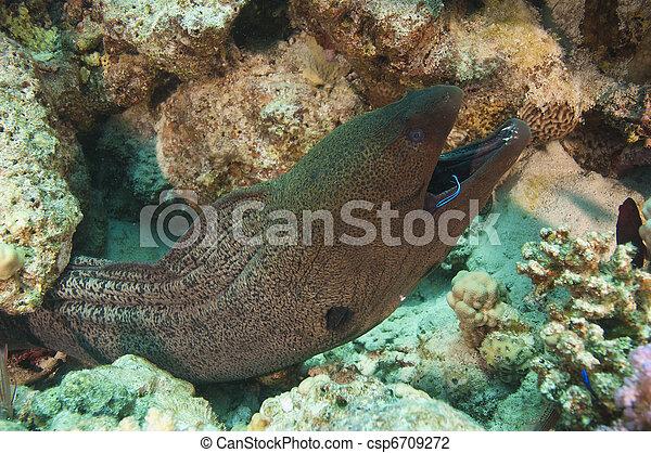 Anguila gigante con una arruga más limpia - csp6709272