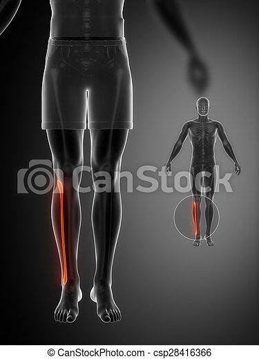 x--ray, fibula, pretas, varredura osso - csp28416366