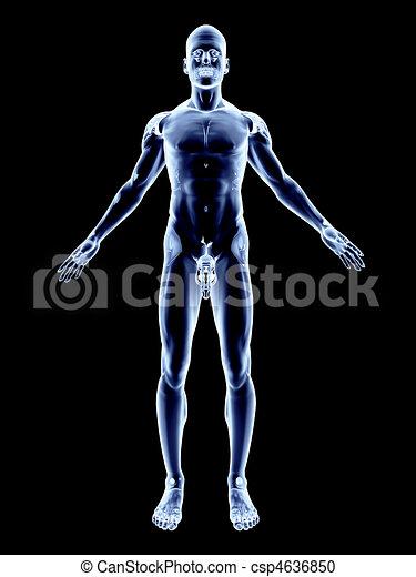 X-Ray - Male Anatomy  - csp4636850