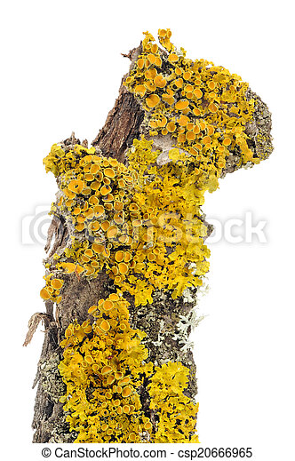 Xanthoria Parietina (Golden Shield Lichen) Close-Up on Tree Bark - csp20666965