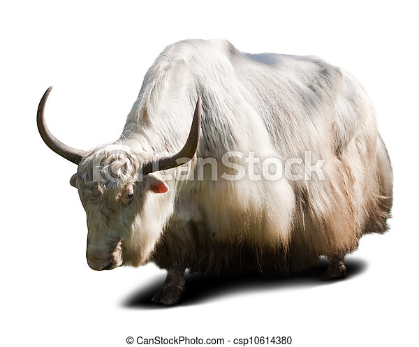 yak  over white background   - csp10614380