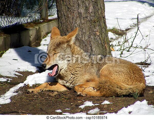 Yawning coyote - csp10185974