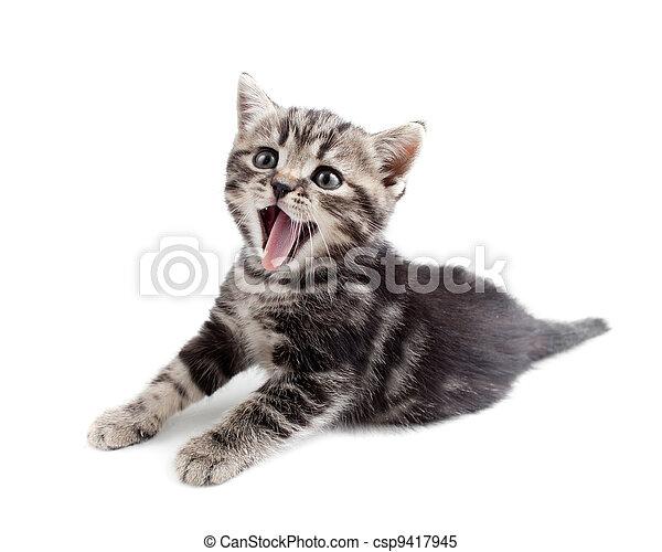 Yawning striped Scottish kitten lying isolated - csp9417945