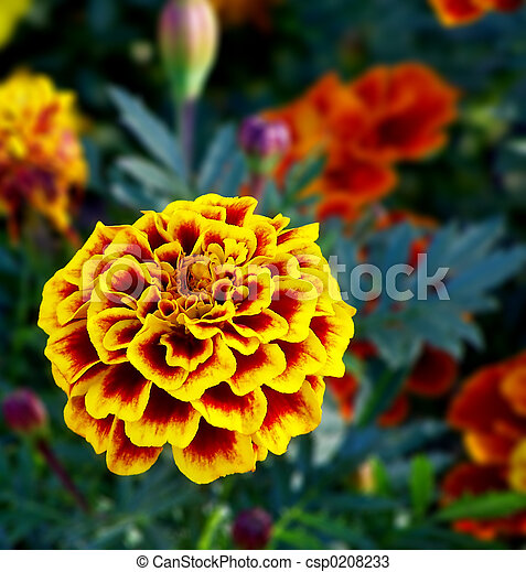 Yellow and red flower - csp0208233