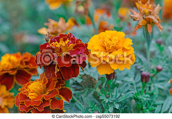 Yellow and red tagetes erecta or mexican marigold yellow and red yellow and red tagetes erecta or mexican marigold csp55073192 mightylinksfo