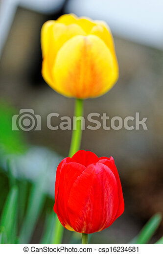 Yellow and red tulips in a garden - csp16234681