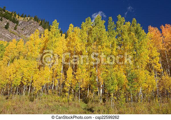 yellow aspen - csp22599262