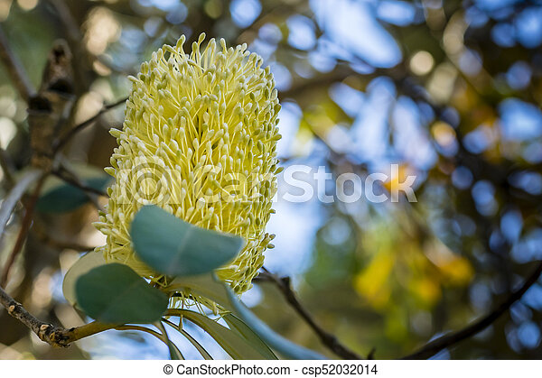 Yellow australian banksia flower on tree closeup soft background yellow australian banksia flower on tree closeup soft background csp52032014 mightylinksfo