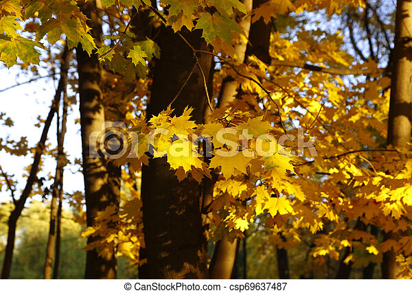 Yellow autumn branches of maple trees - csp69637487