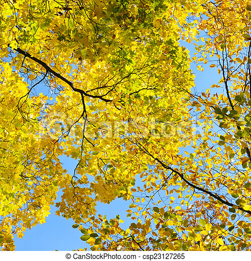 yellow autumn leaves on background blue sky - csp23127265