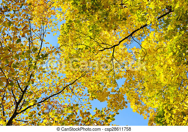 yellow autumn leaves on background blue sky - csp28611758