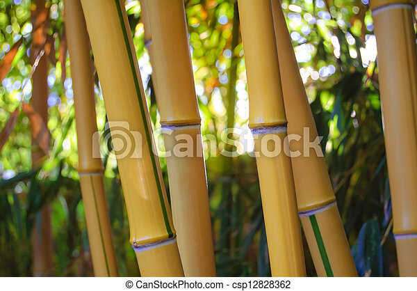 Yellow Bamboo Forest with Sunny Background - csp12828362