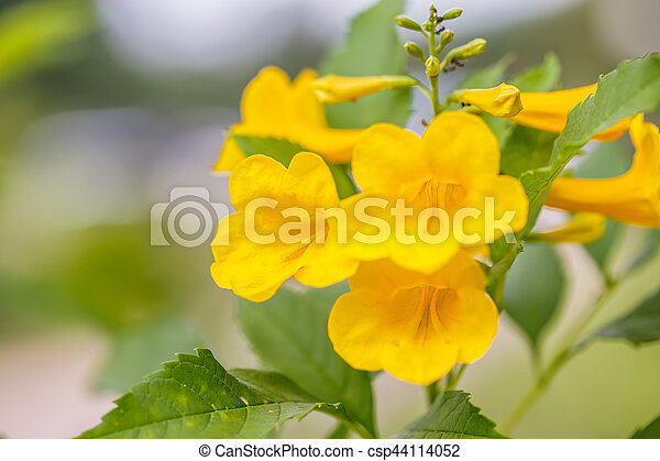Yellow bells flower stock images search stock photos photographs yellow bells flower csp44114052 mightylinksfo