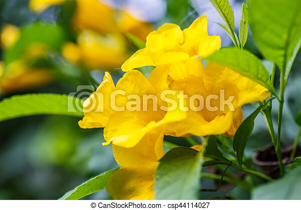 Yellow bells flower stock photo search pictures and photo clip art yellow bells flower csp44114027 mightylinksfo