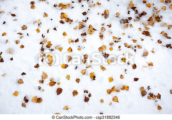 Yellow birch leaves in the snow - csp31882346