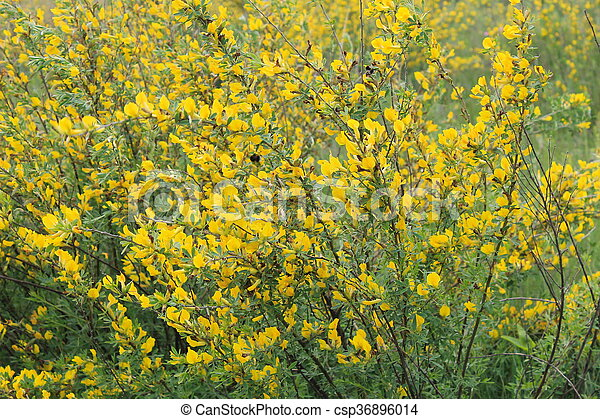 Yellow Blooming Acacia Bushes On Spring