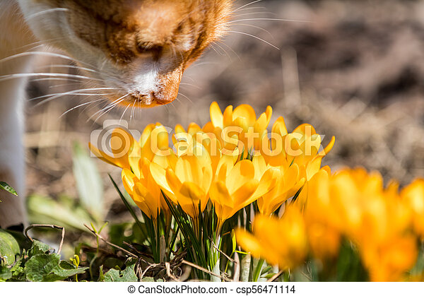 Yellow blooming crocuses and red-white cute cat. Low angle. - csp56471114
