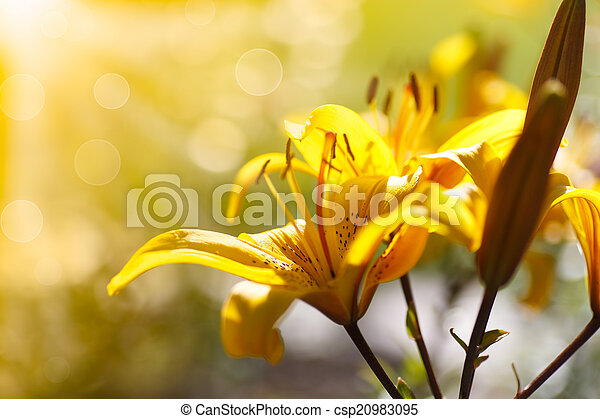 yellow blooming lilies on a sunny day  - csp20983095
