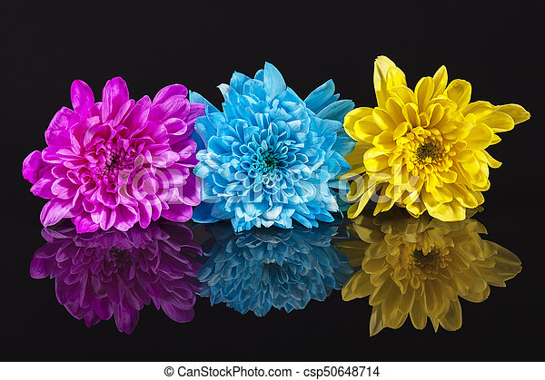 Yellow blue and pink chrysanthemum flowers on black background yellow blue and pink chrysanthemum flowers on black background reflection close up mightylinksfo