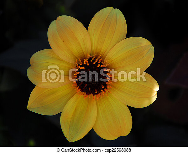 Yellow brown flower yellow color brown flower in bloom in yellow brown flower csp22598088 mightylinksfo