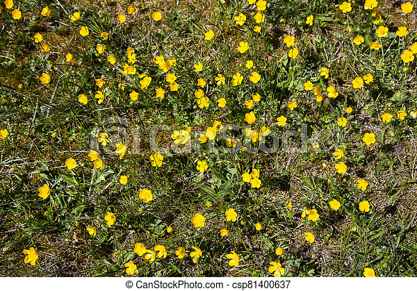 Yellow buttercups in the meadow - csp81400637