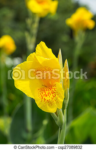 Yellow canna flowers yellow canna flowers csp27089832 mightylinksfo