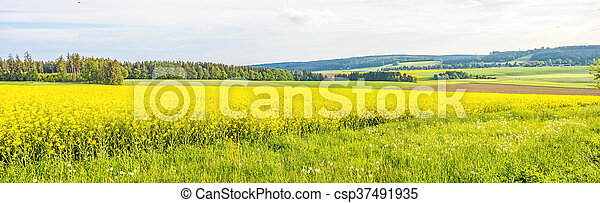yellow canola field panorama - csp37491935